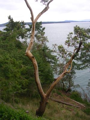 Arbutus tree on Pender Island